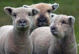 southdown sheep
